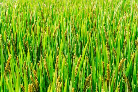 Farmland Organic Green Rice Ears