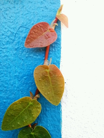 Ficus pumila Creeping fig or climbing fig Is a species of flowering plant in the family Moraceae,