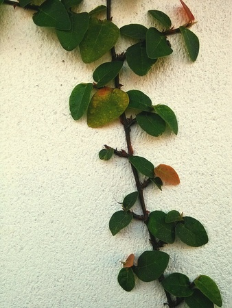climbing fig: Ficus pumila Creeping fig or climbing fig Is a species of flowering plant in the family Moraceae,
