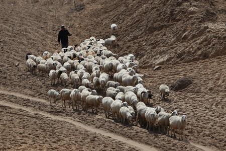 Sheep herder tending to the sheep