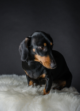 doxie: A cute dachshund portrait with black background