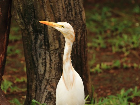 intermediate: Intermediate Egret Heron