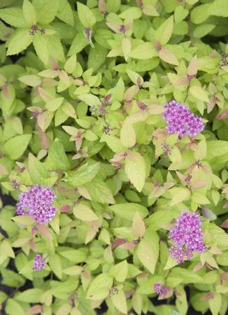 creeping woodsorrel: violet flowers on a green background. summer