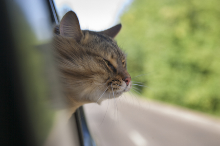 Head Cat  out of a car window  in motion. summer Stock Photo