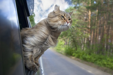 Head Cat  out of a car window  in motion. summer Stockfoto