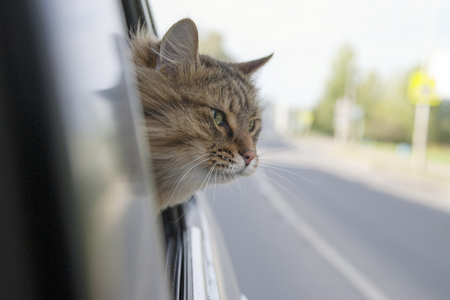 Head Cat  out of a car window  in motion. summer Фото со стока