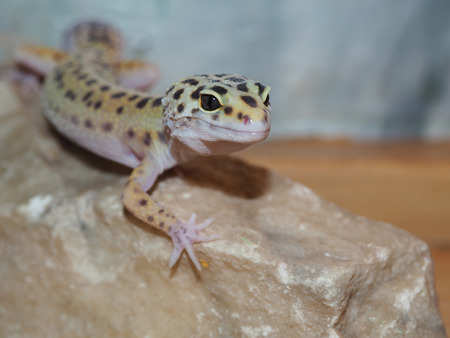 desert lizard: Little leopard gecko on a stone. close up.