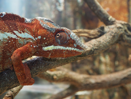 lagartija: Red green chameleon on a tree branch.