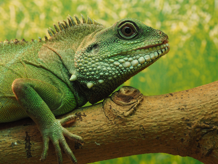 jaszczurka: The head of green lizard on a tree.