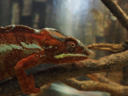 latent: Red green chameleon on a tree branch.