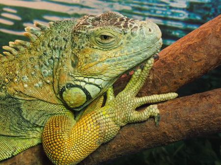 lagarto: The head of green lizard on a tree.