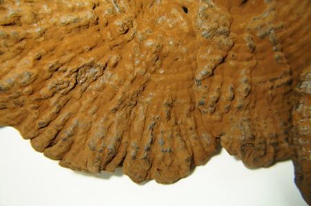 strains: Ganoderma