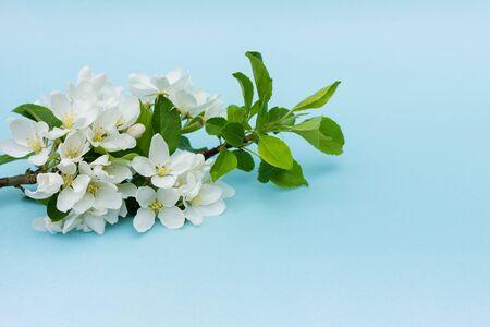 在蓝色的背景上,一棵开着花的苹果树的精致而美丽的树枝。白色的花朵。贺卡的概念…水平的特写照片。照片用柔和的颜色。