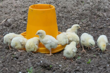 little yellow chickens, eat feed from a special feeder. Farm bird. 9 chickens. Soft focus.