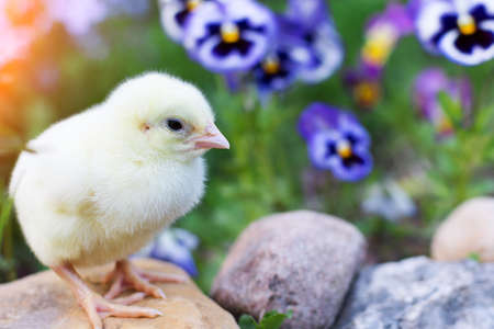 a small, newborn, chicken sits on a stone against a background of bright blue flowers. pansies. The photo is horizontal. artistically crafted. selective focus. Stock fotó