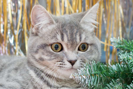 muzzle of a gray cat with yellow eyes close-up against the background of New Year's decor, a Christmas tree and golden tinsel. The idea is a cute, fluffy pet Stock Photo