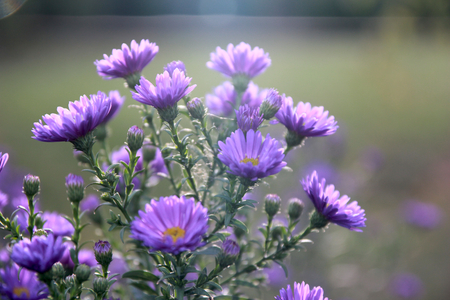 astra: violet Astra in backlight