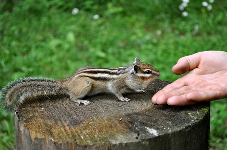 Making contact with the chipmunk Stock Photo - 8528212