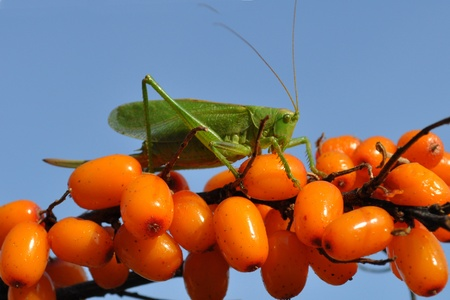 Close-up of a grasshopper on the berries.  Stock Photo - 8528217