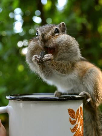 ardilla: Chipmunk sonriente en la taza
