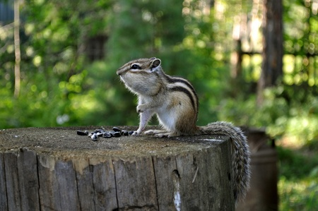 Chipmunk sitting on a stump lifting the foot Stock Photo - 8583083