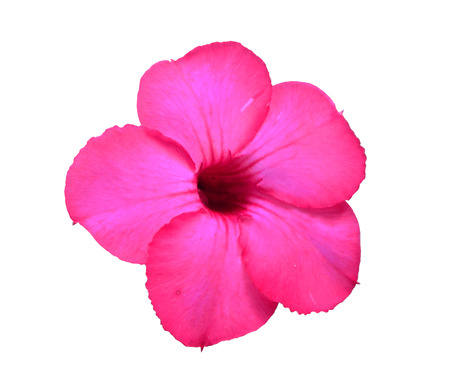 red pink: Red pink impala lily white