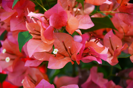classifier: pink bougainvillea background blur Stock Photo