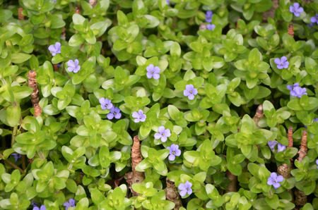 hydrophyte: The aquatic plant beautiful flowering trees and giant bacopa. Stock Photo