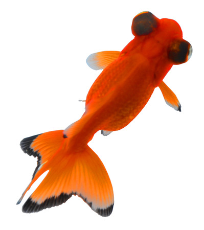 loveliness: goldfish loveliness eyes is big telescope eye.