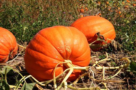 pumpkin on a vine photo