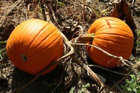 Two Pumpkins on a vine photo