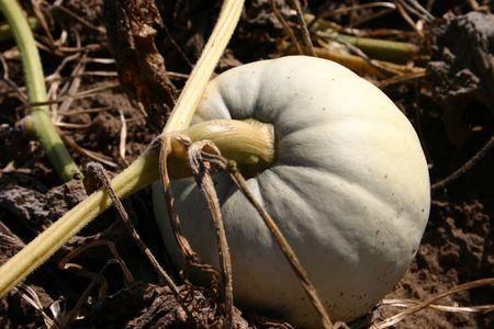 White Pumpkin on a vine photo