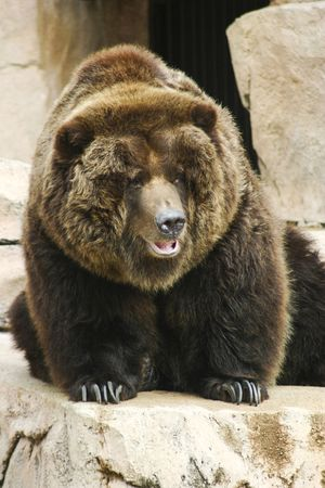 dangerously: Brown Bear standing on a rock Stock Photo