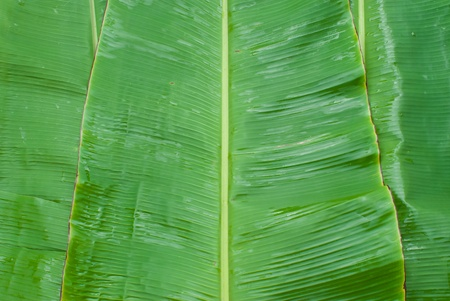 green banana leaf with fresh photo