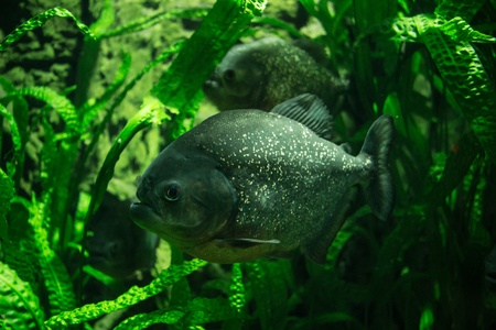 Two big Piranhas in green underwater plants Stock Photo