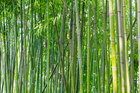 Asian bamboo forest in spring blossom Stock Photo