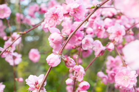 Pink Cherry tree spring blossom in park Stock Photo