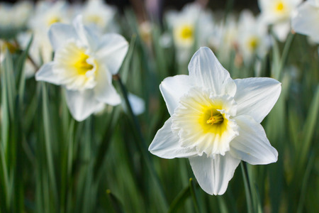White Daffodil spring blossom in park Stock Photo