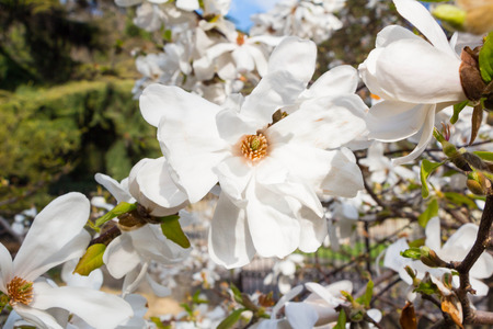 White magnolia spring blossom in park Stock Photo