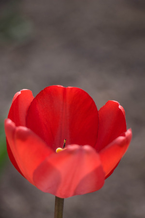 Red Tulips spring blossom on green grass Stock Photo