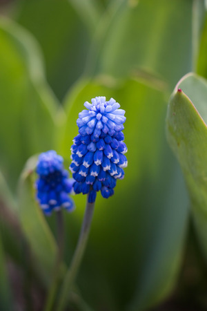Blue Grape Hyacinth spring blossom on green grass