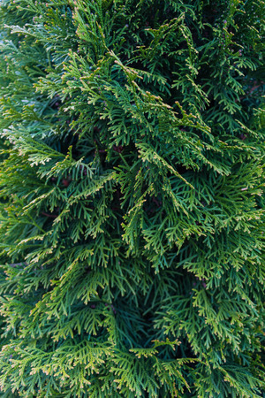 Close-up of the leaves of a cypress tree Stock Photo