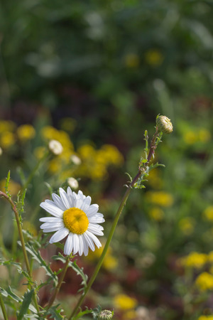 Idyllic Summer Meadow wildflowers - white daisy