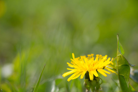 level playing field: Yellow Summer Dandelion bouquet - meadow in Europe