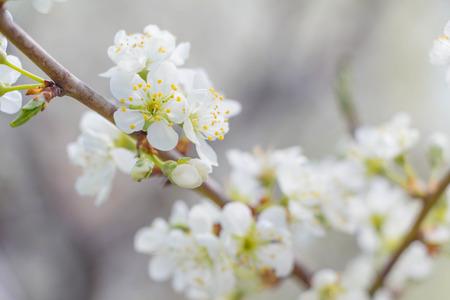 White Apple tree spring blossom in park Stock Photo