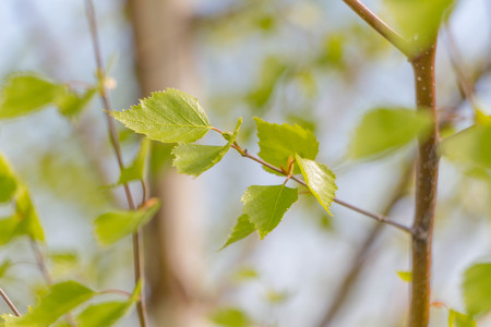 Green young branch leaves in park