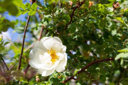White Wild Rose Flower Hip spring Blossom Stock Photo
