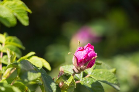 Red bright pink Wild Rose Flower Hip spring Blossom Stock Photo