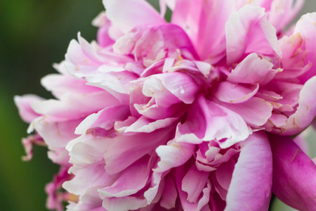 Bright pink and white peony summer blossom Stock Photo