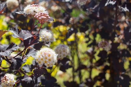 Summer Blooming Wine Ninebark (Physocarpus opulifolius) Stock Photo